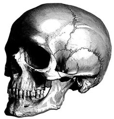 Human Anatomy the human skull Old medical atlas by mapsandposters, $9.99