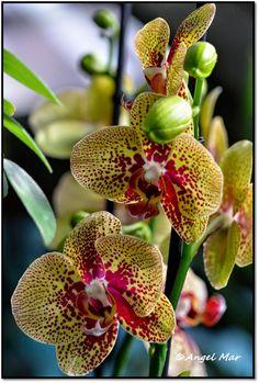 Orquídeas Blog de Angel Mar: Phalaenopsis (La sencillez de la belleza)