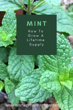 Grow Mint From Cuttings Or Roots All Year - Homegrown Herb Garden Growing Mint, Growing Herbs, Growing Seedlings, Growing Vegetables, Gardening For Beginners, Gardening Tips, Indoor Gardening, Urban Gardening, Vegetable Gardening