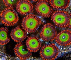 1 polyp Candy Apple Reds zoanthid frag, zoa, zoas, zoanthids, live coral Glass Aquarium, Nano Aquarium, Marine Aquarium, Reef Aquarium, Saltwater Tank, Saltwater Aquarium, Mandarin Fish, Nano Cube, Underwater Plants