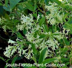 How to grow and care for night blooming jasmine flowers