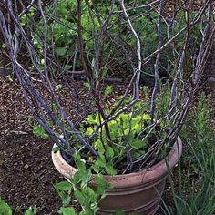 Photo: Karen Bussolini | thisoldhouse.com | from How to Build a Branch Trellis in a Pot