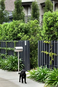 Podocarpus falcatus hedge. Bougainvillea trained to stainless steel wires on custom timber fence. Robert Plumb 'Mrs Kelly' letterbox beside Agapanthus sp. Randwick, NSW Australia. Anthony Wyer + Associates www.anthonywyer.com