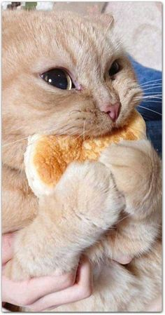 This cat and his bread - your daily dose of funny cats - cute kittens - pet memes - pets in clothes - kitty breeds - sweet animal pictures - perfect photos for cat moms Cute Baby Cats, Cute Little Animals, Cute Cats And Kittens, Cute Funny Animals, Funny Animal Pictures, Kittens Cutest, Cute Dogs, Funny Cats, Cats Humor