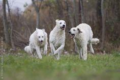 Great shot of Kuvasz dogs