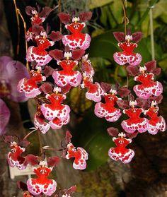 Dancing Ladies - Толумнии (Tolumnia) - Орхидеи - Все о комнатных растениях и цветах - Форум «Ваш Сад»