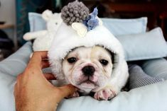French Bulldog Puppies from dog breeders. Frenchie For sale in south Florida. We have some Mini French Bulldog and standard Bulldogs for sale Bulldogs For Sale, Bulldog Puppies For Sale, Tiny Puppies, Best Puppies, French Bulldog Puppies, Cute Puppies, Cute Dogs, Teacup Dogs For Sale, Mini French Bulldogs
