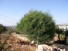 The Two Olive Trees: A Modern Day Parable   Hip Homeschool Moms