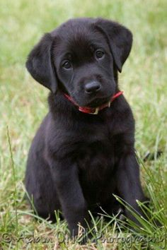 There's nothing in the world cuter than a lab puppy