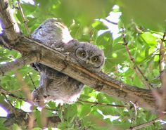 Western Screech Owl nestlings by Birds & Blooms reader Doris Manning of Penrose, Colorado