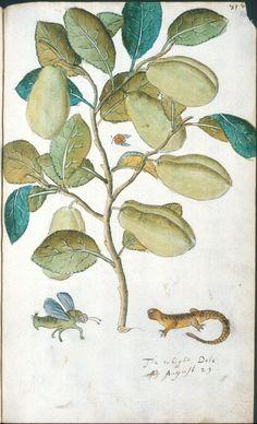 John Tradescant (~1570-1632)