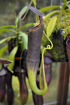 Nepenthes ramispina
