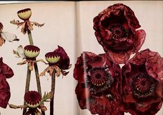 f Irving Penn's Flowers Photography Gallery, Art Photography, Irving Penn Flowers, Christmas Spectacular, Poppies, December, Bloom, Drawings, Illustration