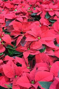 Téli időszak nagy slágere a mikulásvirág. Decemberben és karácsonykor kedvelt, mert alap színei piros, és zöld a karácsonyi dekorációk közkedvelt és hagyományos színei.