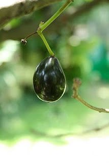 Duhat - (Black Plum/Java Plum) - Syzygium Cumini Skeels Parts used: fruit, leaves, bark, seeds  Duhat is a fruit tree found mostly wild throughout the Philippines. Duhat seeds are known for the treatment of diabetes, as are the leaves and the juice from the fruit. The bark is astringent and in decoction is used as a mouthwash and as a gargle for ulcerations of the mouth.