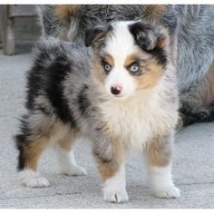 Teacup Australian Shepherd, so adorable:)