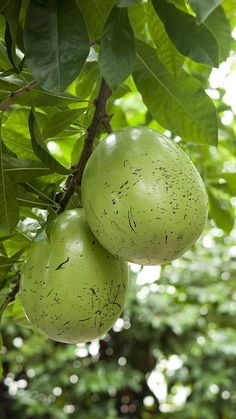 Calabash tree is a tropical tree native to Central America, the Caribbean and Northern South America