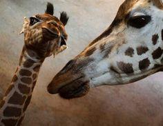Au zoo de Prague, une girafe de Rothschild prend soin de sa petite, Apolena, âgée d'onze jours seulement.