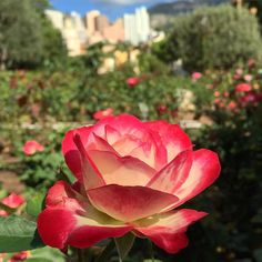 #Fontvieille  #rose #roses #flower #flowers #flowerporn #roseraie #princesse #grace #monaco #montecarlo #cotedazur #red #orange #yellow #shades #nature #skyscraper #contrast #sun #holiday #neverreturn #travel #trip #tradition #love by lorenzsimo from #Montecarlo #Monaco