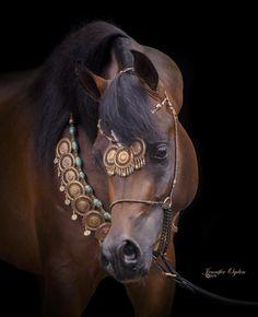 Qaysar Al Jood (Alixir x Rhapsody in Black) 2013 bay stallion bred by Al Jood Stud - full brother to Bellagio RCA