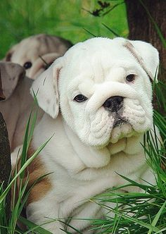 English Bulldog puppy, would love to have one to play with my Pugs!