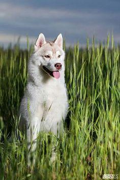 Husky, Tours, Nature, Animals, Heaven, Naturaleza, Animales, Sky, Animaux