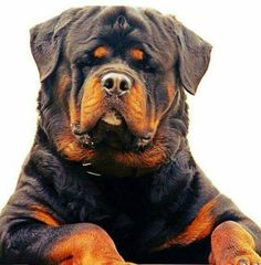 "Outstanding ""rottweiler puppies"" info is available on our internet site. Check it out and you will not be sorry you did. Big Dogs, I Love Dogs, Cute Dogs, Dogs And Puppies, Doggies, Corgi Puppies, Fu Dog, Dog Cat, German Dog Breeds"