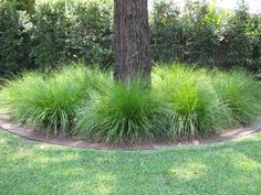 "Aust native - Lomandra Longifolia ""Tanika"" Lomandra Tanika is a hardy Australian native evergreen with shiny green strap leaves and yellow flower spikes that come out in Spring. This plant is very hardy and has even been called by some as ""close to indestructible."" Tanika is versatile, and can be planted in a position of full sun to heavy shade. Drought tolerant. Great as a landscaping plant."