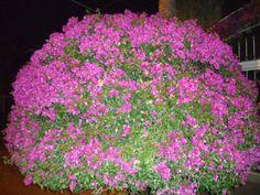 sancarlosfortin: bugambilia en el jardin de marilu