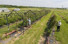 Horticulturist and technician inspect blackberry plants.