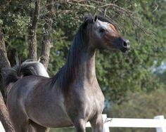 Lady Love BSF, 2012 grey (bay) Arabian filly