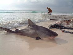 bull Shark.. Tulum Mexico. Was planning a trip until I saw this!!
