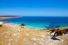 Stokes Bay, Authentic Kangaroo Island  Kangaroo Island is called that for a reason - just look! (if you can peel you eyes away from the gorgeous blue sea)   Pic: Lachlan Swan Photography