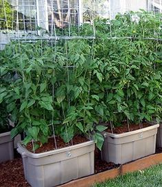 Now, anyone can grow the BEST tomatoes in containers...and conserve water.