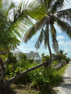Beautiful coconut trees in Spanish Wells,Bahamas