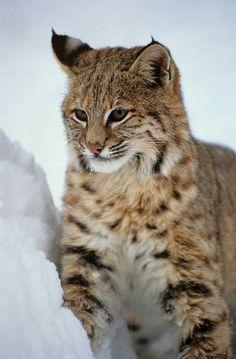Rufus gigas, Gefangenes Tier, Bobcats, Wilde Katzen