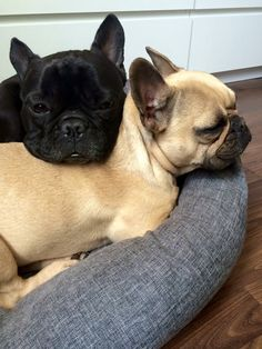 Mathilde and Paul, French Bulldogs