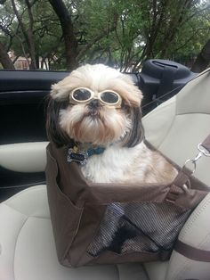 Shih tzu day driving! What a way to travel!