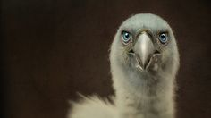 vulture by Detlef Knapp on 500px