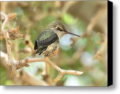 The Little Ones  Stretched Canvas Print / Canvas Art By Saija  Lehtonen #hummingbirds #birds #avian #wildlife #nature