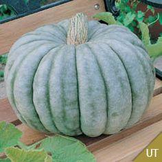 Seeds of Jarrahdale Pumpkins Grown Using Untreated Seeds, Small & Novelty Pumpkins