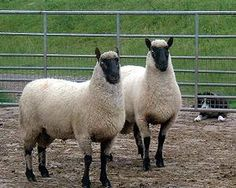 Clun Forest Sheep