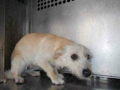 This DOG - ID#A187876. OFF HOLD 3/25 - SO NOW IS URGENT! POOR LITTLE BABY IS SO SCARED!! I'm an unaltered female, tan/white Cairn Terrier mix. GARLAND ANIMAL SHELTER, TX 972-205-3570, Press option 2 then 4. https://www.facebook.com/GarlandAnimalShelterVolunteerPage/photos/a.232474773562452.1073741828.232454186897844/378378372305424/?type=1&theater