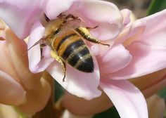 A honeybee with plenty of pollen already collected entering a Hyacinth flower for nectarhttps://thegardendiaries.wordpress.com/2016/04/16/nuc-101/