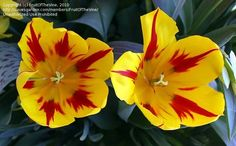 Bloom for Apr. 4, 2012: single early tulip 'Mickey Mouse'.  Photo by FruitOfTheVine.