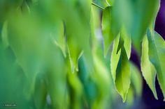 Leaf curtain