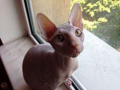 My sphynx cat Jari, about 5 months old