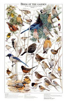 Birds of the Garden Winter II - Posters på AllPosters.se