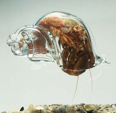 Here's the real story behind this see-through hermit crab | Grist