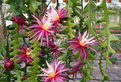 Selenicereus anthonyanus (Ric Rac Orchid Cactus, Fish Bone Cactus, Zig-Zag Cactus,